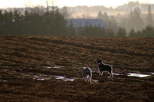 Dogs on a farm in Canada. (Photo: Martin Cathrae)